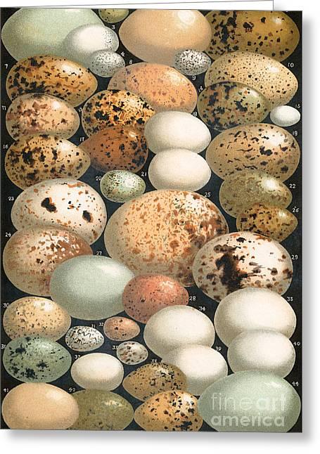 Some Favorite British Birds' Eggs Greeting Card
