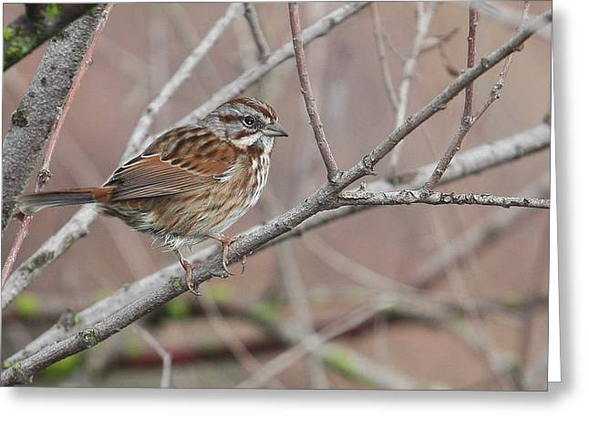 Song Sparrow Greeting Card by Andrew Johnson