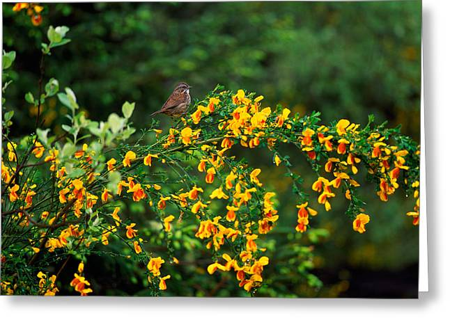 Song Sparrow Bird On Blooming Scotch Greeting Card by Panoramic Images