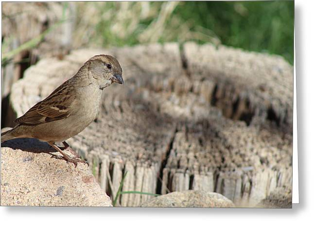Song Sparrow Looks Curious Greeting Card