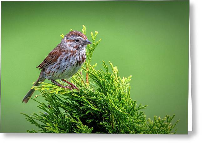 Song Sparrow Perched - Melospiza Melodia Greeting Card