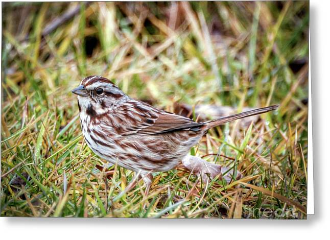 Greeting Card featuring the photograph Song Sparrow Sweetie by Kerri Farley