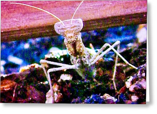Sonoran Desert Ground Mantis Greeting Card