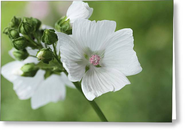 Spray Of Mallow Greeting Card