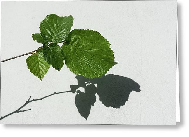Sophisticated Shadows - Glossy Hazelnut Leaves On White Stucco - Horizontal View Right Upwards Greeting Card by Georgia Mizuleva