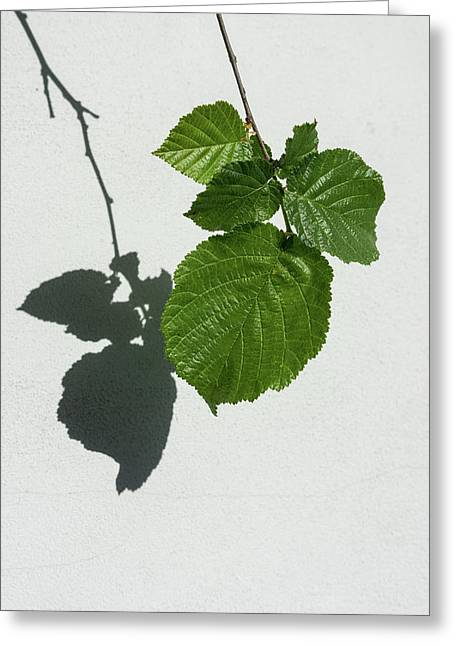 Sophisticated Shadows - Glossy Hazelnut Leaves On White Stucco - Vertical View Down Left Greeting Card by Georgia Mizuleva