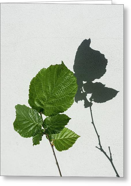 Sophisticated Shadows - Glossy Hazelnut Leaves On White Stucco - Vertical View Upwards Right Greeting Card by Georgia Mizuleva