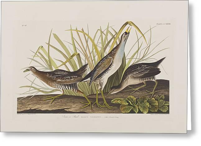 Sora Or Rail Greeting Card by John James Audubon