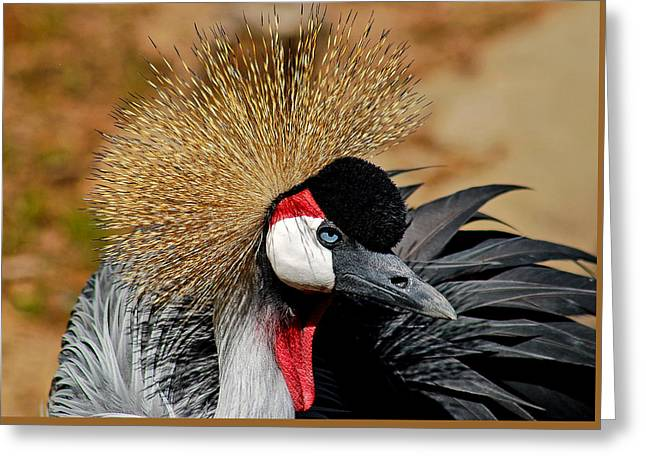 South African Crowned Crane Greeting Card