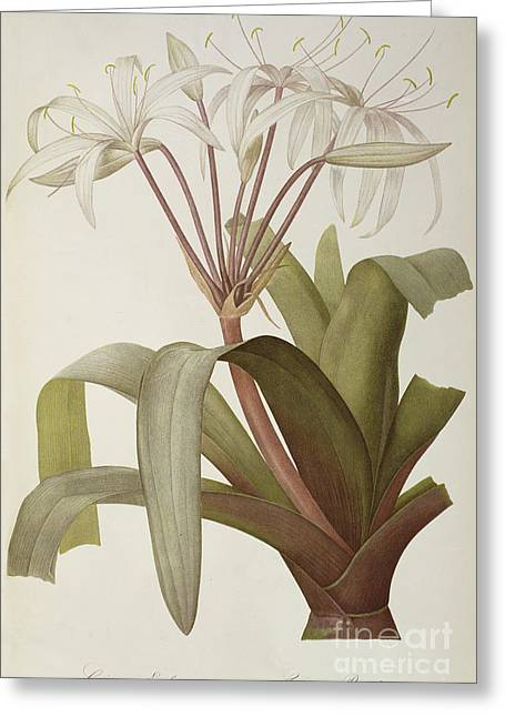 South American Swamp Crinum Lily Greeting Card by Pierre Joseph Redoute
