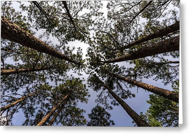 South Carolina Long Leaf Pine Greeting Card by Serge Skiba