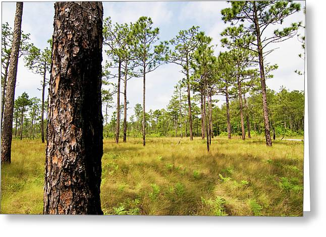 Southeast Pine Savanna Greeting Card