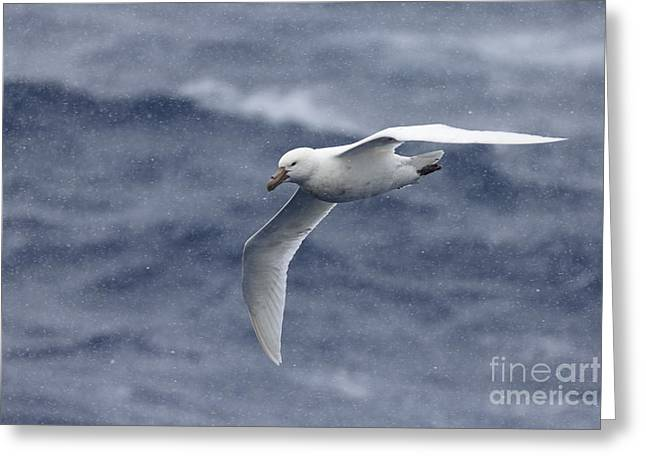 Southern Giant-petrel Greeting Card by Martin Hale/FLPA