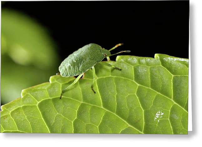 Southern Green Stink Bug Camouflaged On A Green Leaf Greeting Card by Sami Sarkis