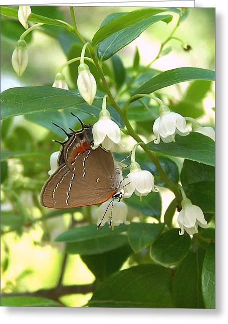 Greeting Card featuring the photograph Southern Hairstreak On Sparkleberry by Peg Urban