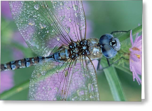 Three-quarter Length Greeting Cards - Southern Hawker Dragonfly Aeshna Cyanea Greeting Card by Tim Fitzharris