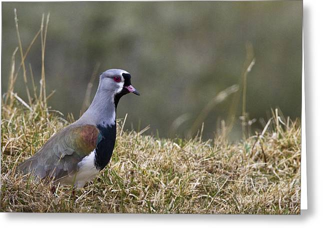 Southern Lapwing Greeting Card by Jean-Louis Klein & Marie-Luce Hubert