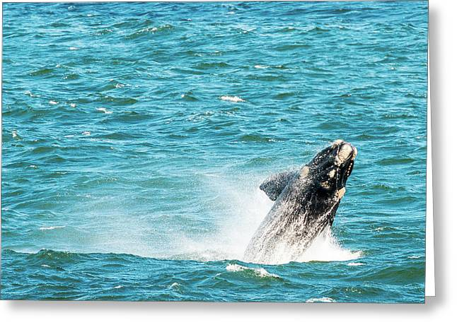 Southern Right Whale Breaching Greeting Card by Tim Hester