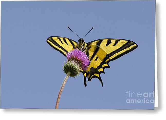 Southern Swallowtail Butterfly Greeting Card by Steen Drozd Lund