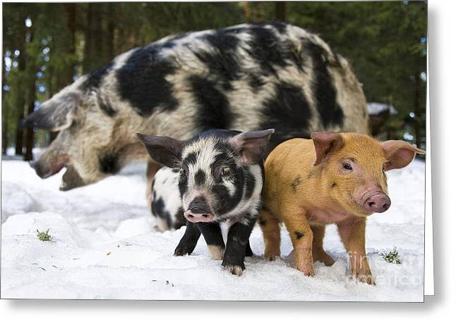 Sow And Piglets Greeting Card by Jean-Louis Klein & Marie-Luce Hubert