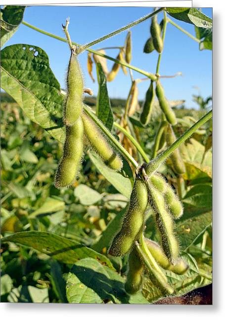 Soybeans In Autumn Greeting Card
