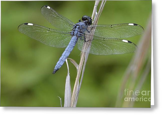 Spangled Skimmer Greeting Card by Randy Bodkins