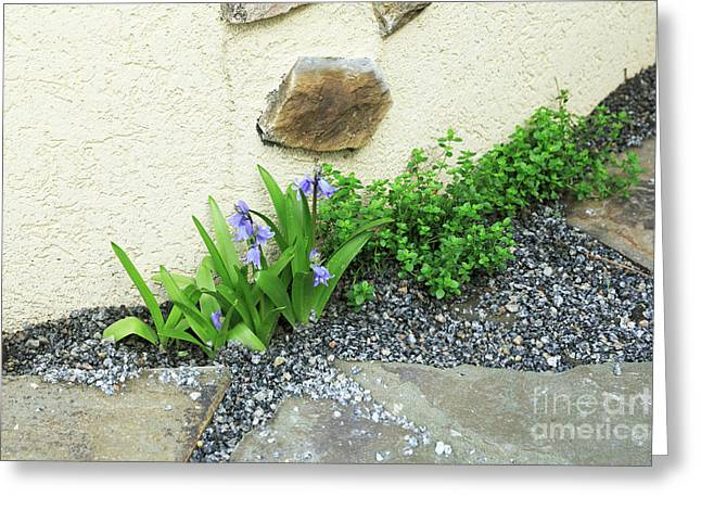 Spanish Bluebells Growing In A Gravel Path With Thyme Greeting Card by Louise Heusinkveld