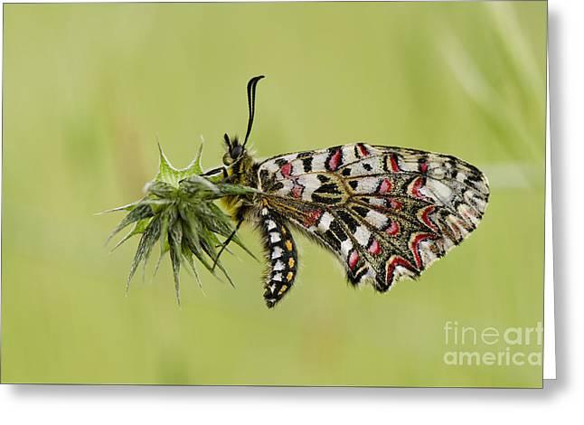 Spanish Festoon Butterfly Greeting Card by Perry Van Munster