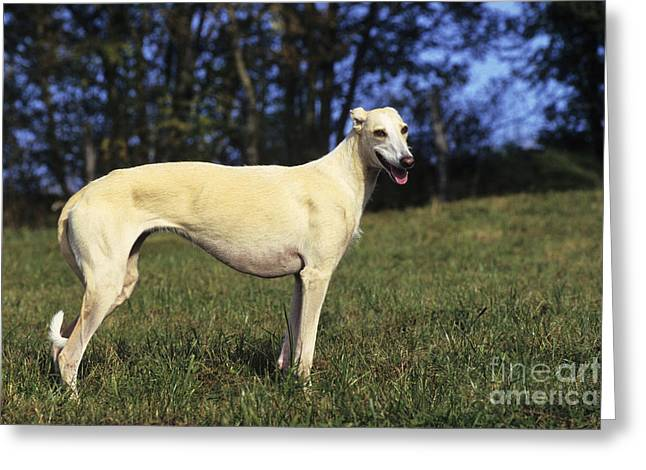 Spanish Galgo Greeting Card by Jean-Louis Klein & Marie-Luce Hubert