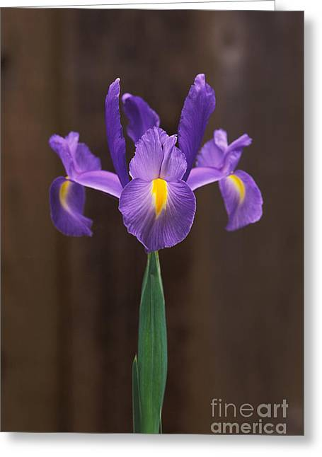 Spanish Iris Greeting Card by Greg Vaughn - Printscapes