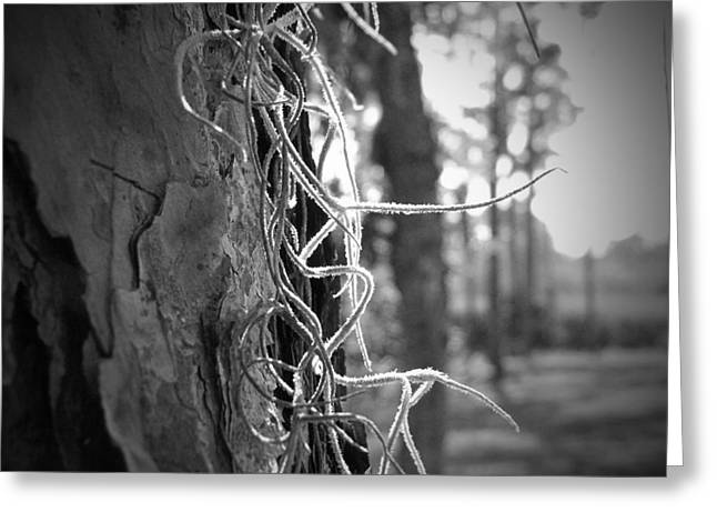 Spanish Moss In The Florida Sun Greeting Card by Megan Verzoni