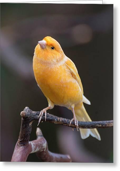 Spanish Timbrado Canary Greeting Card