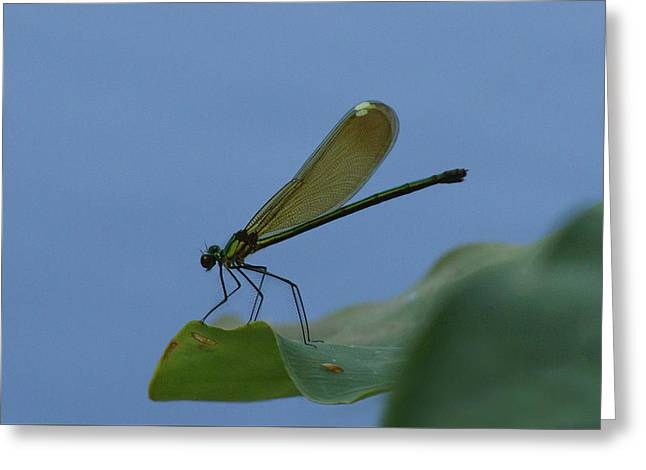 Sparkling Jewelwing #2 Greeting Card
