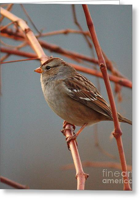 Sparrow On Grape Vine Greeting Card by Carol Groenen