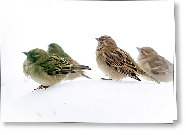 Sparrows In The Snow Greeting Card