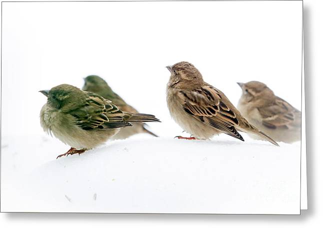 Sparrows In The Snow Greeting Card by Eleanor Abramson