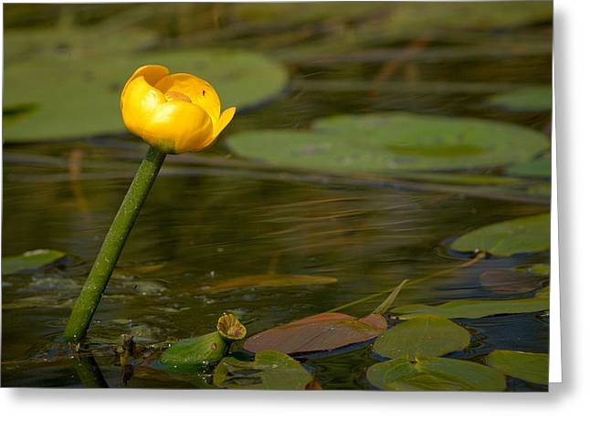 Greeting Card featuring the photograph Spatterdock by Jouko Lehto