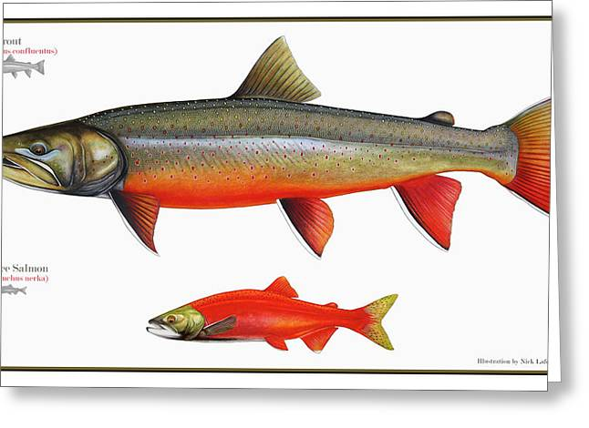 Spawning Bull Trout And Kokanee Salmon Greeting Card by Nick Laferriere