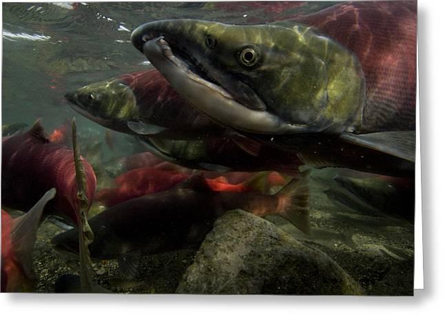 Spawning Salmon Dominate Traffic Greeting Card by Randy Olson
