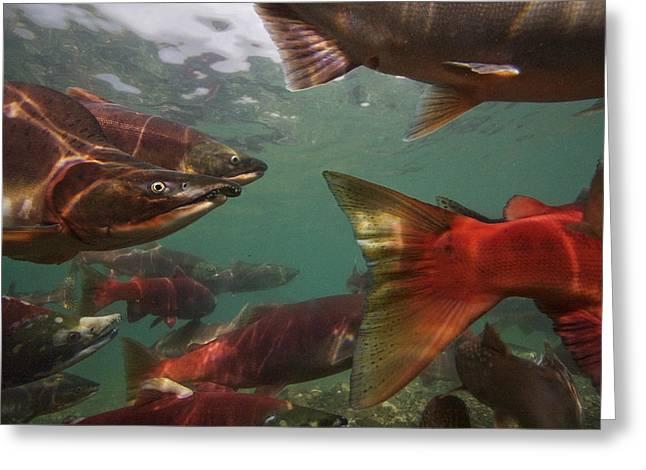 Spawning Salmon In The Ozernaya River Greeting Card by Randy Olson