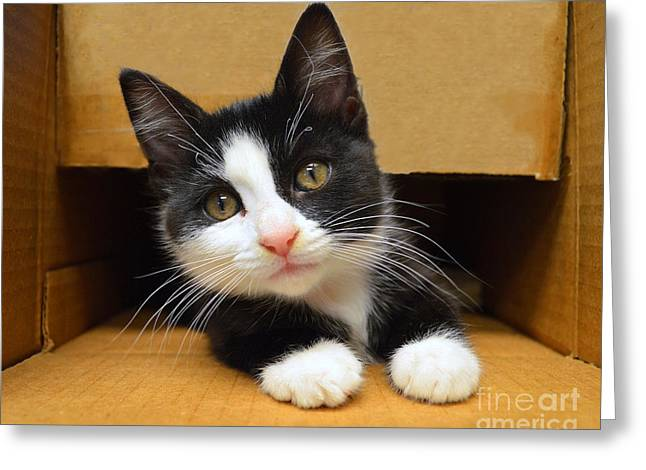 Special Delivery Tuxedo Kitten Greeting Card by Catherine Sherman