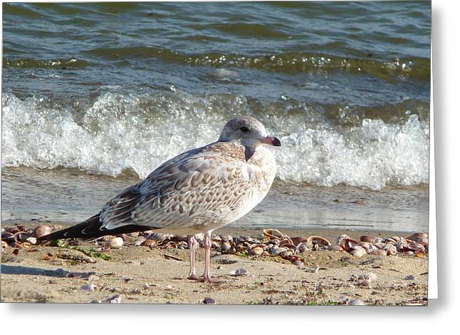 Greeting Card featuring the photograph Speckled Brown Gull by Margie Avellino