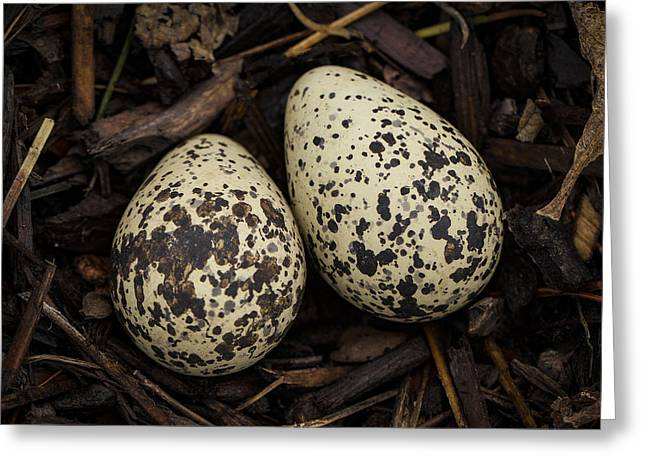 Speckled Killdeer Eggs By Jean Noren Greeting Card