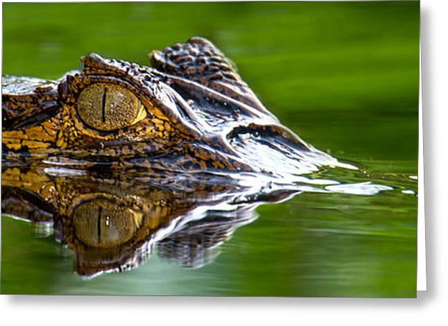 Spectacled Caiman Caiman Crocodilus Greeting Card by Panoramic Images