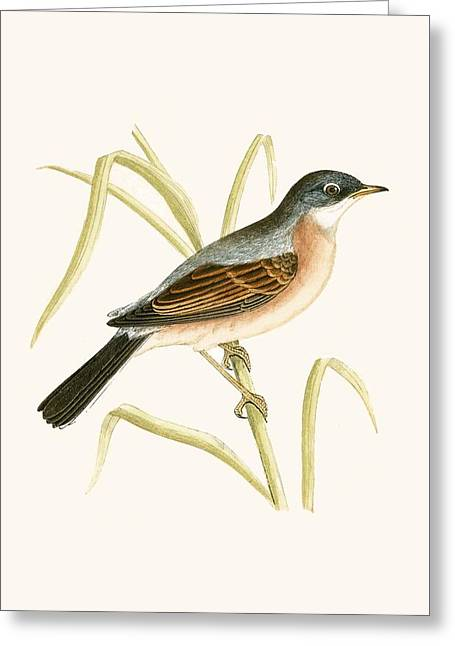 Spectacled Warbler Greeting Card by English School
