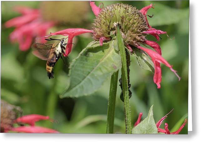 Sphinx Moth 2017-1 Greeting Card