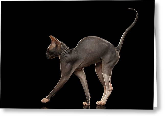 Sphynx Cat Funny Standing Isolated On Black Mirror Greeting Card by Sergey Taran