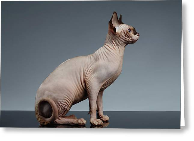 Sphynx Cat Sits And Looking Forward On Black  Greeting Card