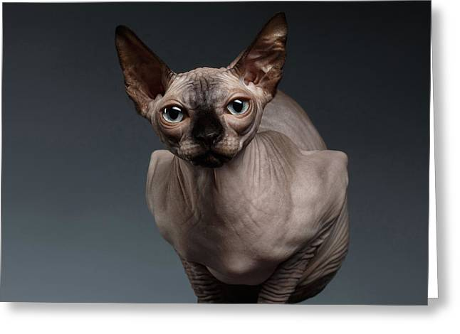 Sphynx Cat Sits In Front View On Black  Greeting Card