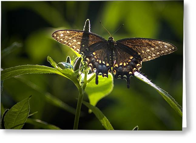Spicebush Swallowtail I Greeting Card